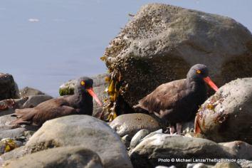 Oystercatchers, Johns Hopkins Inlet