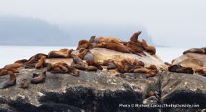 Steller sea lions, South Marble Island, Glacier Bay
