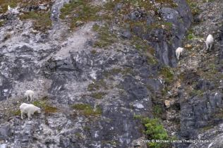 Mountain goats, Glacier Bay