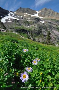 Alpine aster, Gunsight Pass Trail.
