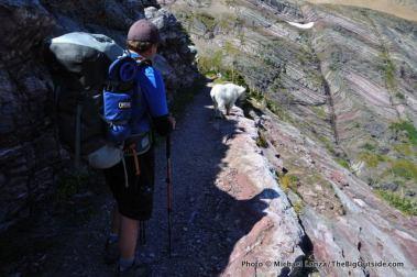 Mountain goats, Gunsight Pass Trail