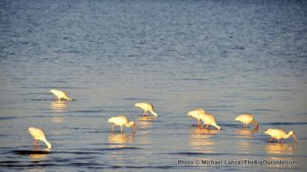White ibises at Tiger Key.