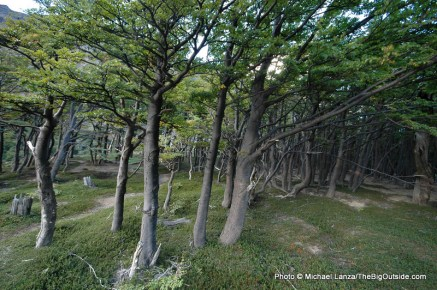 Forest in Torres del Paine.