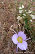 Columbine, Chickadee Ridge Trail, Boise Foothills, ID.