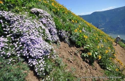 Phlox, Dog Mountain Trail, Columbia Gorge, WA.