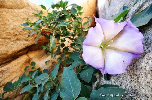 Sacred datura, Joshua Tree National Park, CA.
