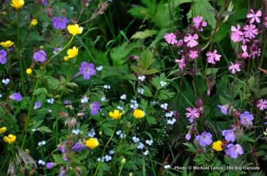Buttercups, Forget-me-nots, and geraniums, Jotunheimen National Park, Norway.