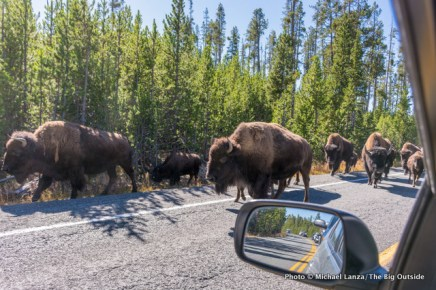 Bison stopping traffic along the Loop Road in Yellowstone National Park.