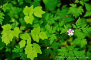 Herb Robert, Oneonta Gorge.