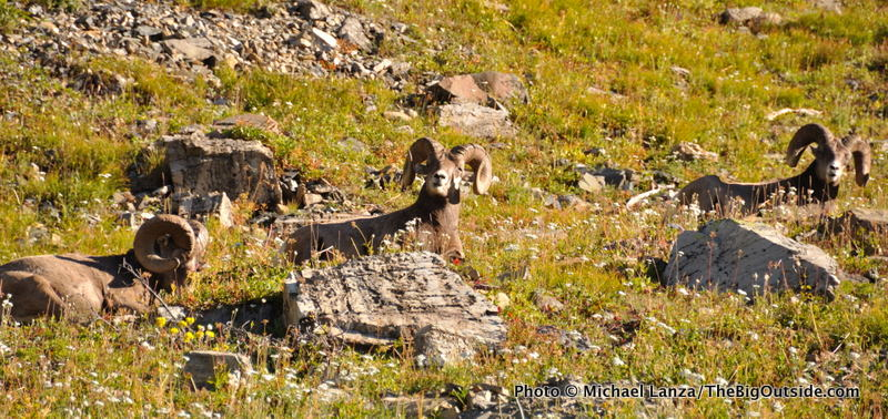 Bighorn sheep along the Highline Trail in Glacier National Park.