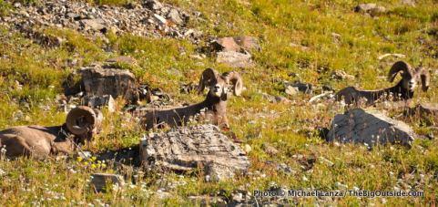 Bighorn sheep, Highline Trail, Glacier National Park.