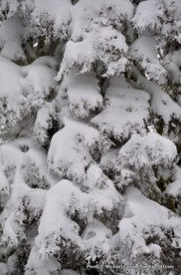 Snow-covered tree, Pilot Peak, Idaho.
