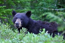 Black bear, Olympic National Park.