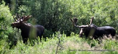 Bull Moose in Cascade Canyon.