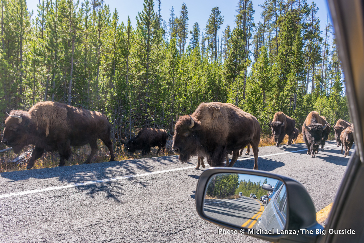 "A ""bison jam"" in Yellowstone National Park."