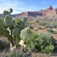 Beavertail cactus, Tonto East Trail, Grandview Point to South Kaibab Trail hike.