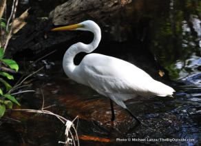 A great egret in Everglades National Park.
