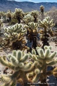 Cholla Cactus Garden, Joshua Tree.