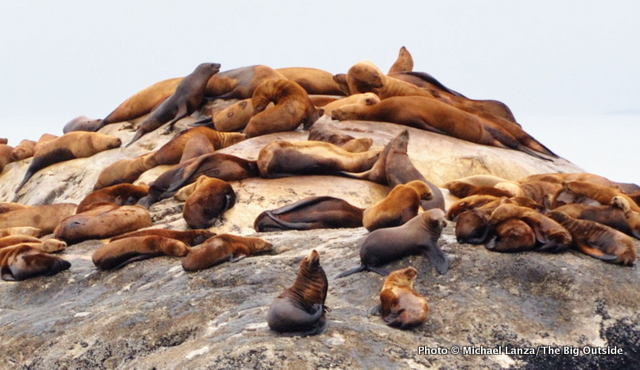 Steller sea lions on South Marble Island, Glacier Bay National Park.