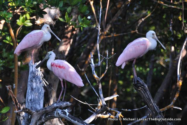 Roseate spoonbills at Tiger Key, Ten Thousand Islands, Everglades National Park.