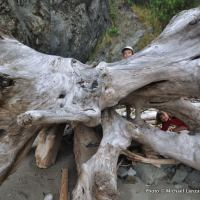 Hiding in massive driftwood on the Olympic coast.