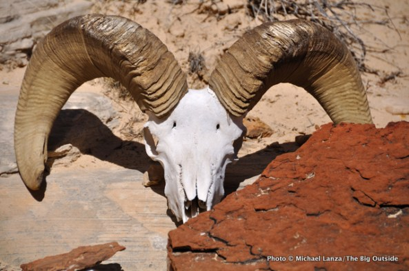 Bighorn sheep skull in the backcountry of Capitol Reef National Park.