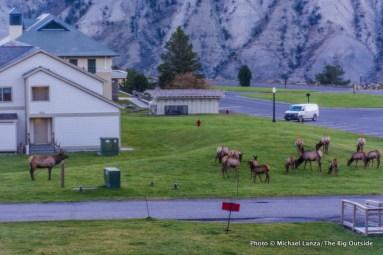 Elk in Mammoth, Yellowstone.
