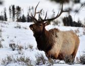 An elk in Yellowstone.