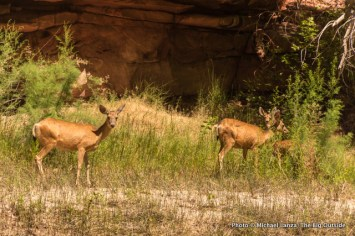 Deer in Lodore Canyon.