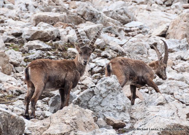 Ibex near Forca Rossa, Alta Via 2, Dolomite Mountains, Italy.