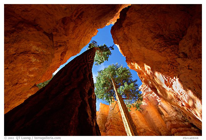 Douglas Fir in Wall Street Gorge, midday, Bryce Canyon National Park.