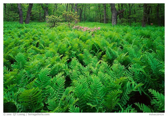 Ferns and flowers in spring, Shenandoah National Park.