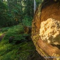 Lion's mane on log, Fisher Creek Trail, North Cascades N.P.