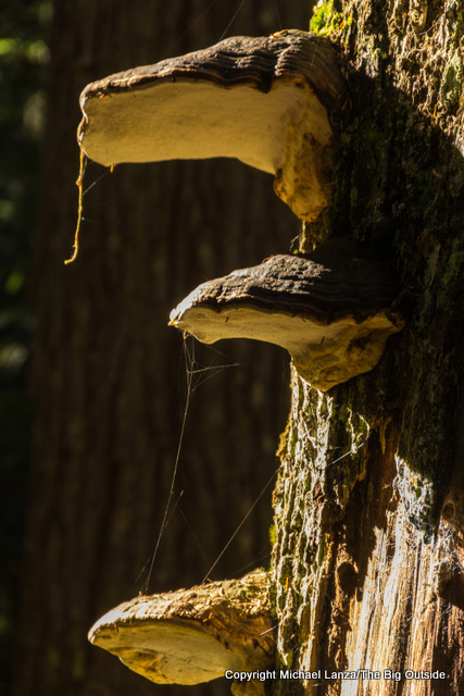 Mushrooms growing on a tree, Fisher Creek Trail, North Cascades.