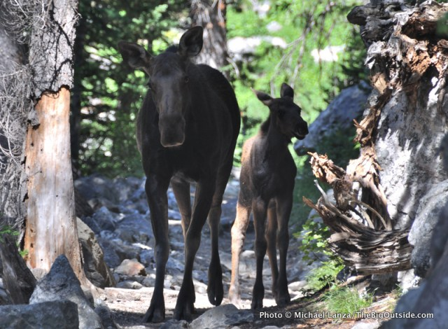 Moose on the trail below Death Canyon in Grand Teton National Park.
