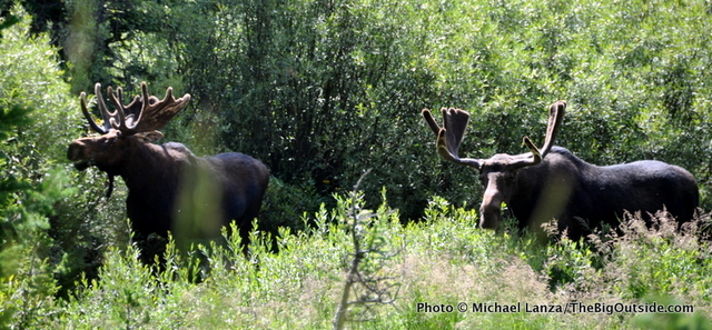 Moose in Cascade Canyon, Grand Teton National Park.