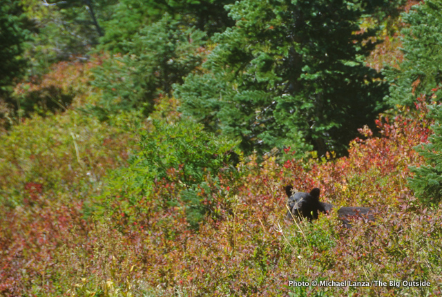 A black bear in the northern Bailey Range, Olympic Mountains.