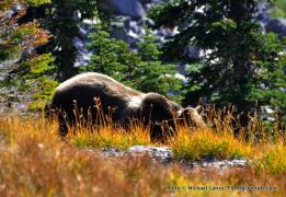 A grizzly sow at Lincoln Pass, Glacier National Park.