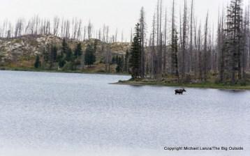 A moose in Red Eagle Lake in Glacier National Park.