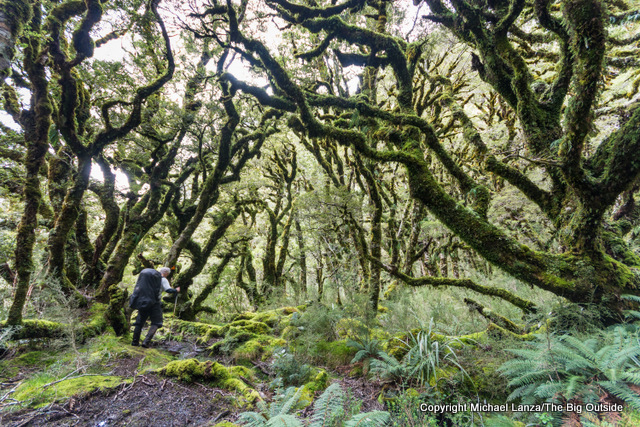 A trekker on the Dusky Track in the Warren Burn forest, Fiordland National Park, New Zealand.