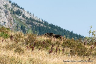 A grizzly bear along the Redgap Pass Trail in Glacier National Park.