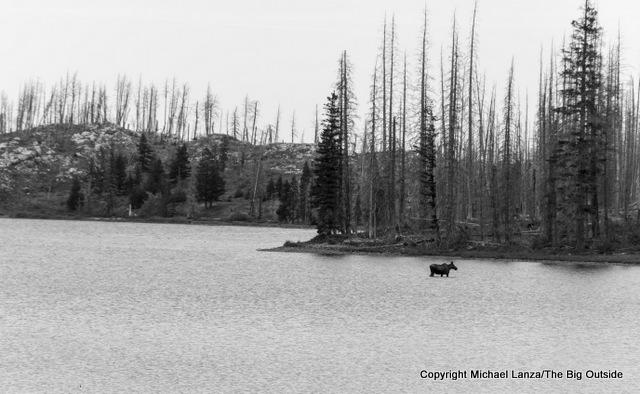 A moose in Redgap Lake in Glacier National Park.