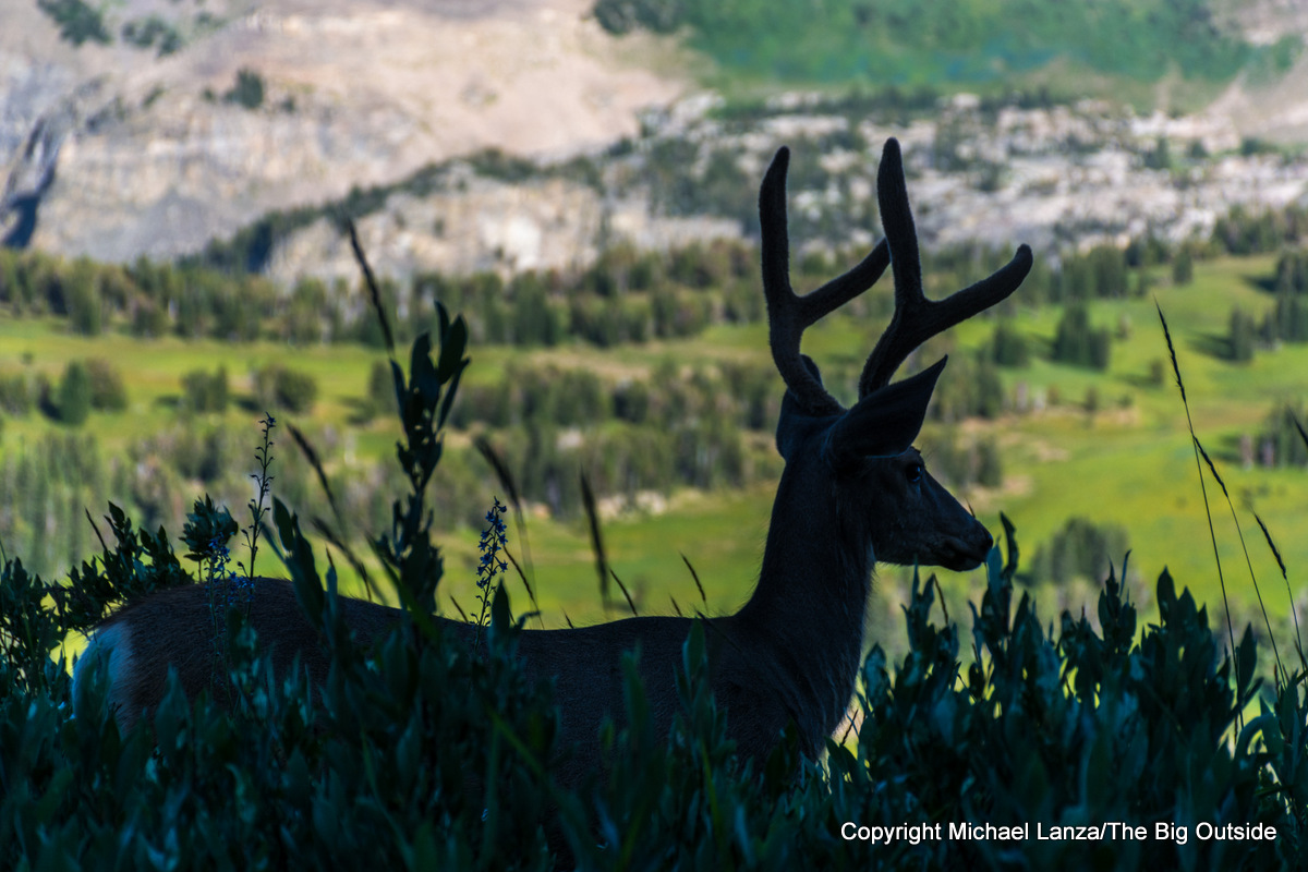 A deer on Death Canyon Shelf in Grand Teton National Park.