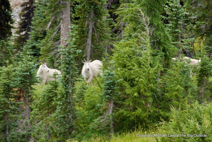 Mountain goats near the Wonderland Trail, Mount Rainier National Park.