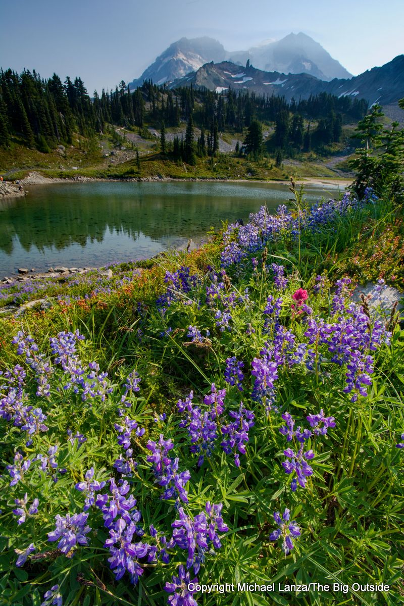 Lupine at St. Andrews Lake on the Wonderland Trail, Mount Rainier National Park.