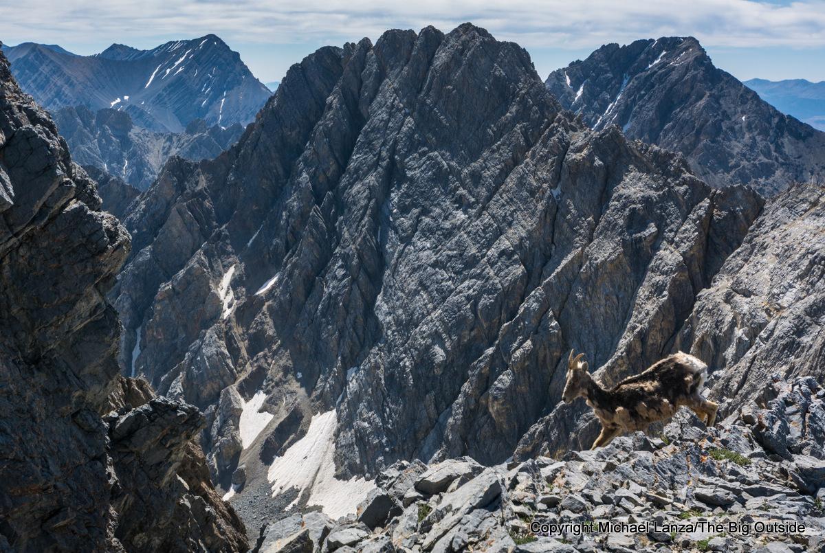 A mountain goat on the Southwest Ridge route up Idaho's 12,662-foot Borah Peak.