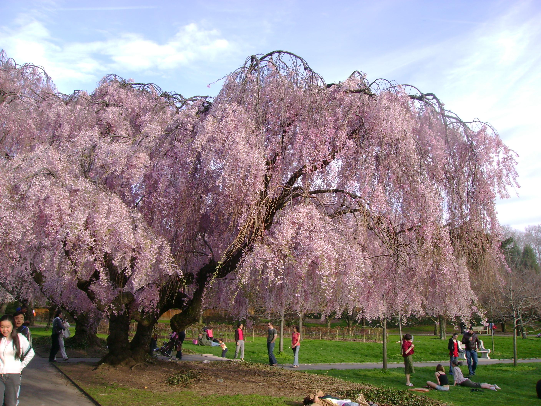 Cherry Tree blooming in the Brooklyn Botanic Garden