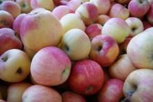 Apple Season -- Photo by The Big Scare