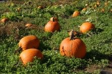 Pumpkins in their natural state
