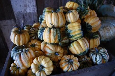 Pumpkins of all shapes